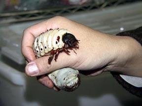 Giant Atlas Beetle Anybody ever ate bugs?...